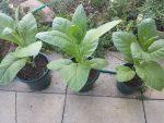 Выращивание табака в квартире – Выращивание табака в домашних условиях,