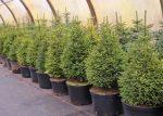Выращивание елок как бизнес – Выращивание елок как бизнес — Бизнес идеи 2019