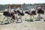 Страусиный – страусиный — это… Что такое страусиный?