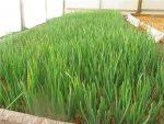 Технология выращивания лука на перо в теплице – Выращивание лука на перо в теплице как бизнес